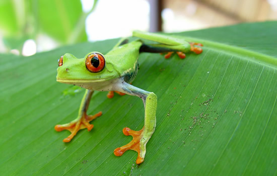 red-eyed tree frog in Costa Rica