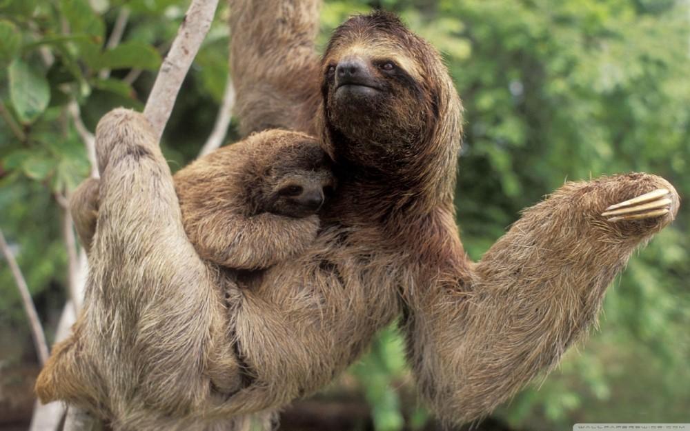 corcovado-sloth