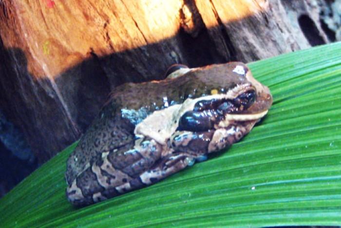 Frog-Pond-Monteverde-Costa-Rica-1