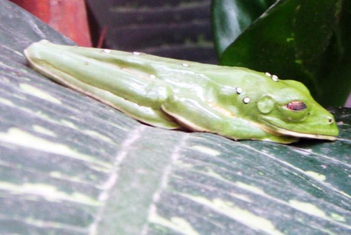 Frog-Pond-Monteverde-Costa-Rica-6