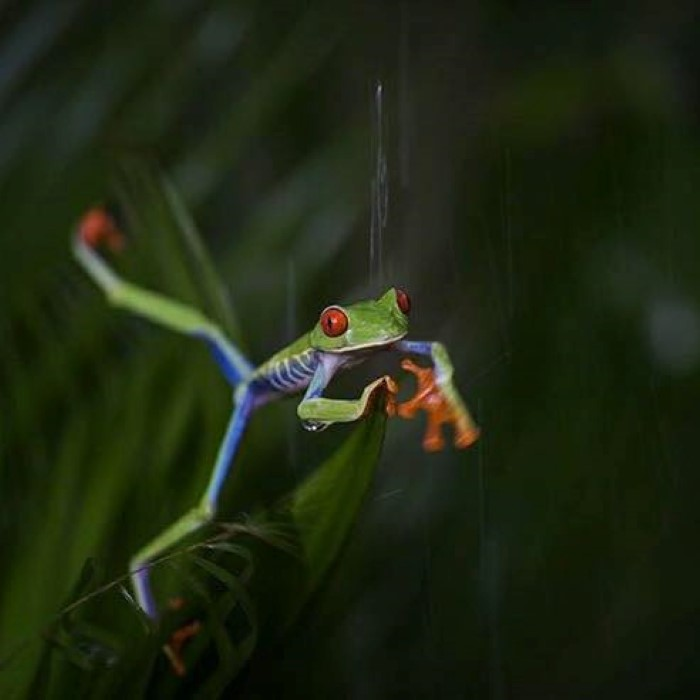 Frogs-Heaven-Tour-Costa-Rica-5