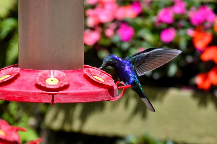 Hummingbird-Garden-Monteverde-Costa-Rica-03