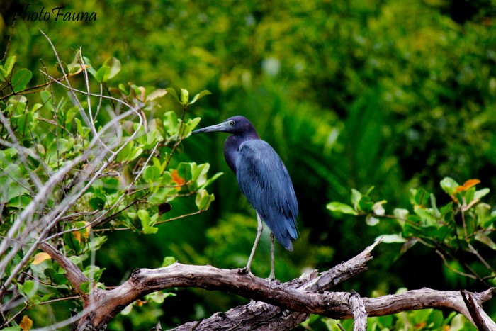 little-blue-heron-3