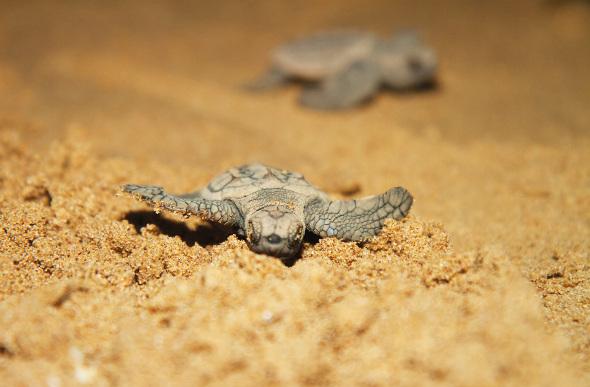 Turtle-Nesting-Night-Tour-Costa-Rica-1