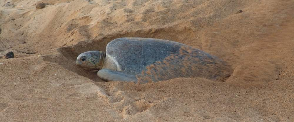 Turtle-Nesting-Night-Tour-Costa-Rica-6
