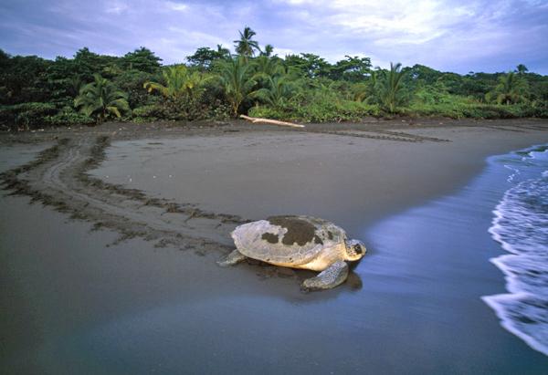 Green Turtle / Tortuga Verde Tortuguero NP Costa Rica Code / Código #R0188A ©Adrian Hepworth