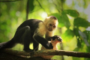 Monkey in Corcovado National Park