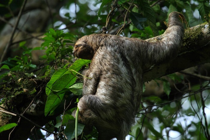 Three-Toed Sloth by Benjamin Fisher